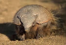El peludo, bestia capaz de abrirse un sendero  subterráneo a fuerza de garfios, en minutos