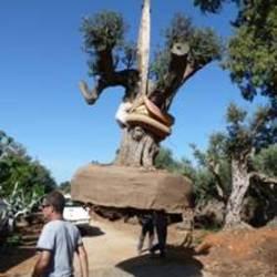 Primer ministro de Israel regala un árbol centenario al Papa Benedicto XVI.  Se trata de un olivo de 200 años. La ceremonia en la que será plantado será el miércoles 26 de octubre de 2011, a las 9.00 en los Jardines Vaticanos.